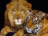 Wild Cat Picture
